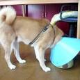 項垂れるパラボラ犬