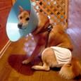 苦悩のパラボラおぱんちゅ犬